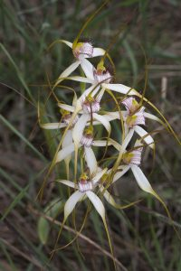 daddy-longlegs-spider-orchid-1